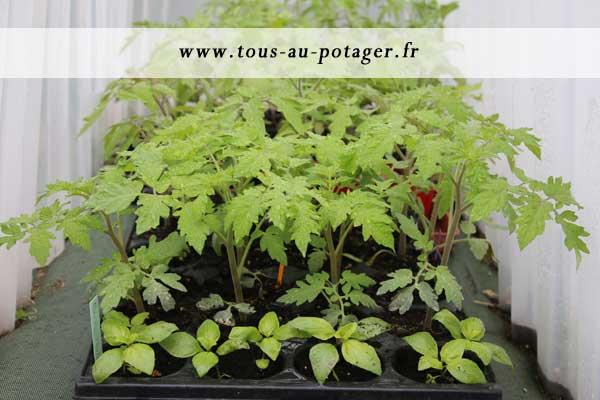 tomates en attente d'être plantées