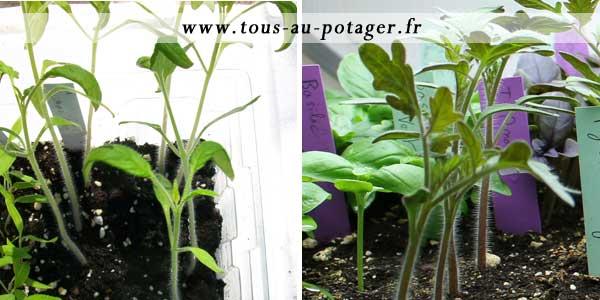 comparaison des tomates à repiquer