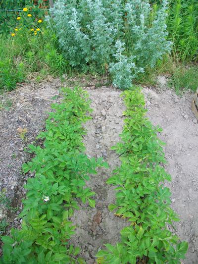 Exemple de l'effet de l'absinthe au potager et son effet sur les pommes de terre