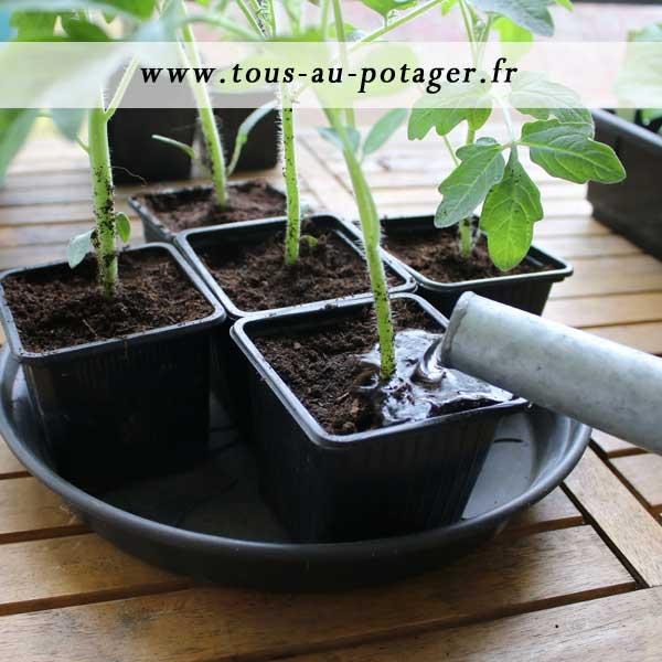 arroser les plants de tomates repiqués