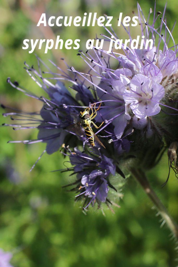 Un syrphe sur fleur de phacelie