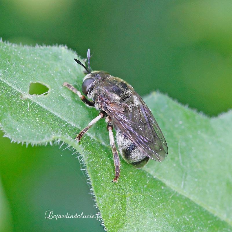 Microdion devius, un syrphe ressemblant à une abeille
