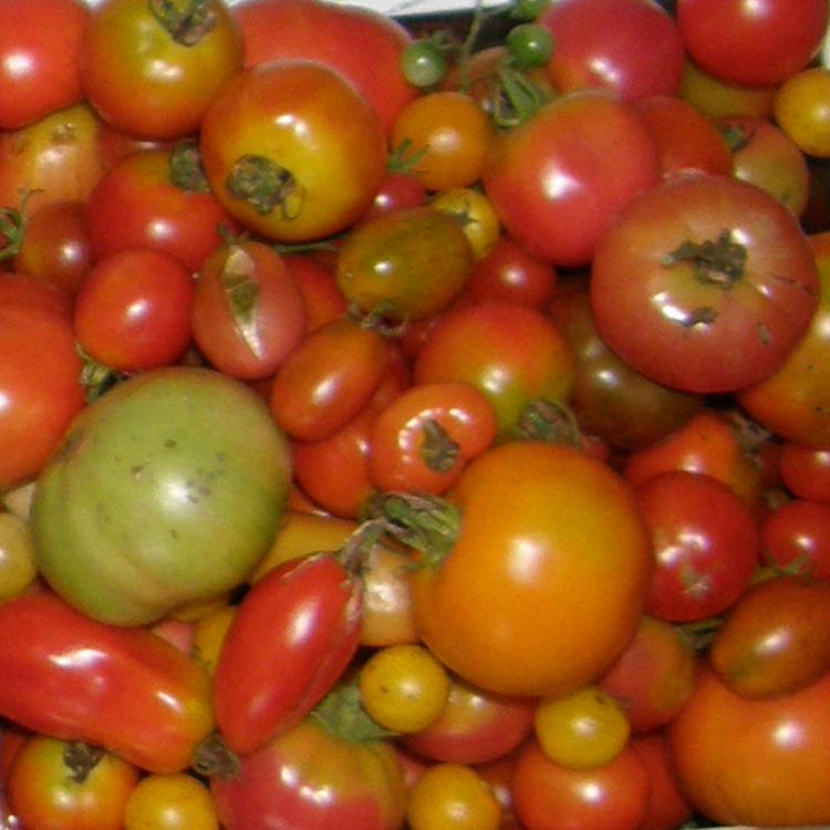 Passionnée des tomates, Sophie cultive 1250 variétés différentes !