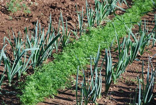 Associer carottes et poireaux, un double bénéfice au potager