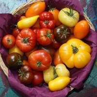 Prévenir le mildiou de la tomate, ça commence dès Janvier !