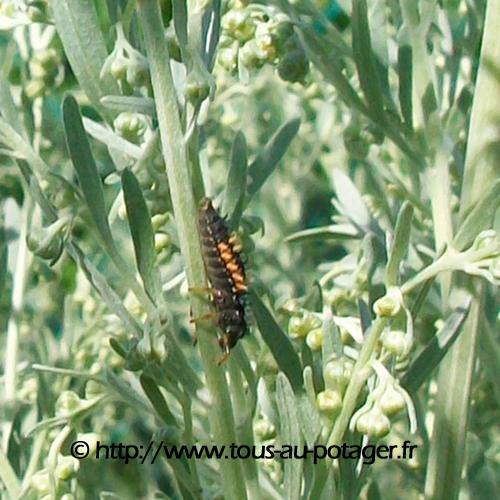 attirer les coccinelles au potager, une larve de coccinelle