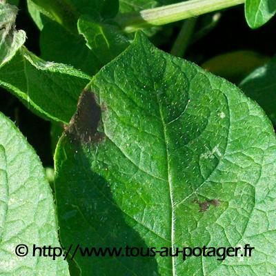 Symptôme de mildiou sur feuille