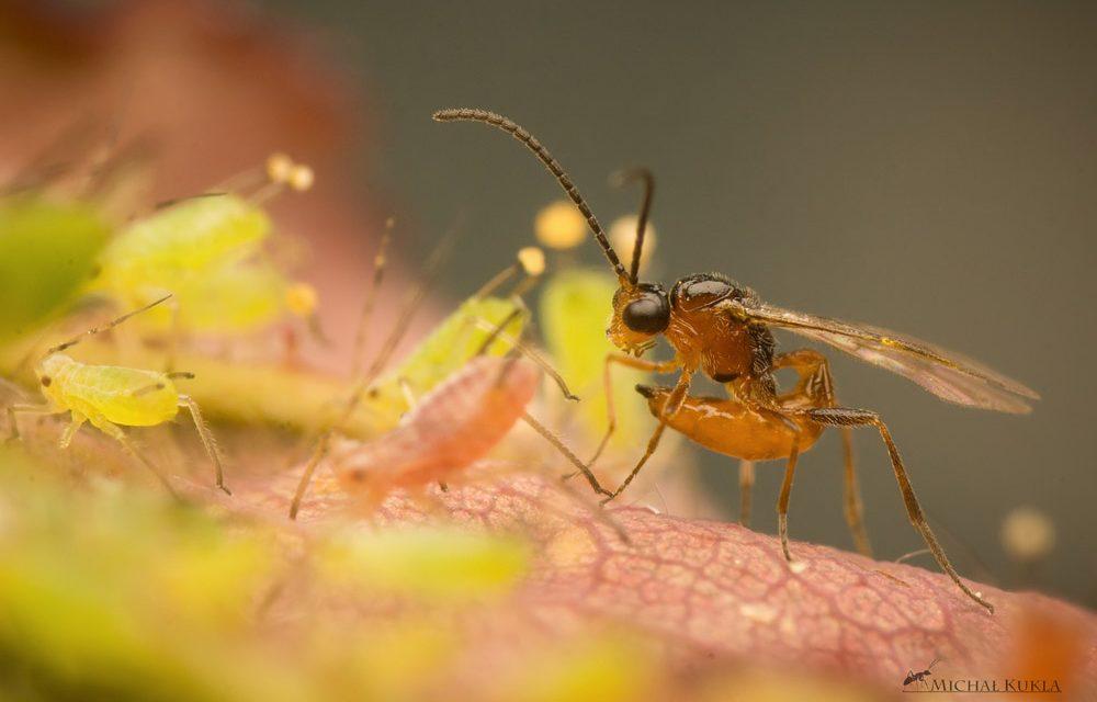 Les guêpes parasitoïdes : Alien est au potager bio