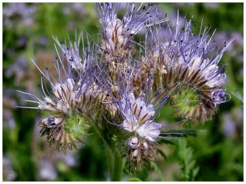 Cultivez des engrais verts de printemps dans votre potager
