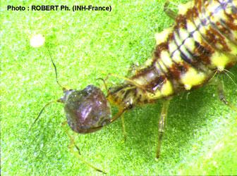 Larve de chrysope se nourrissant d'un puceron - source iftech.fr