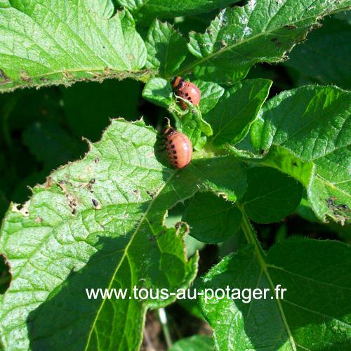 Doryphores sur feuille de pomme de terre
