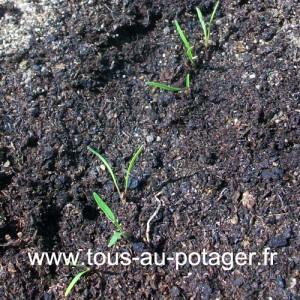 Premier éclaircissage, 3 cm entre chaque plantule