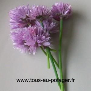 Une touche décorative au mesclun avec des fleurs de ciboulette