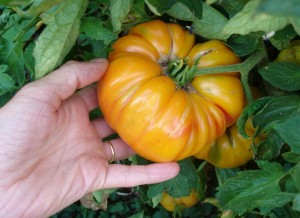 tomate saine