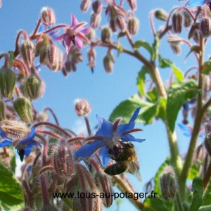 Abeille butinant une fleur de bourrache