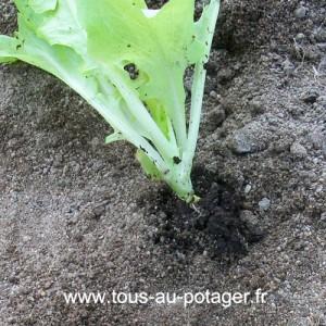 N'enterez pas le collet de la laitue lors de la plantation