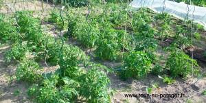 Mes plants de tomates