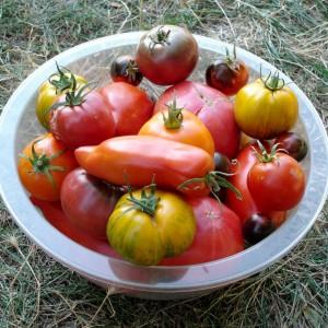 Tomates à maturité, sans mildiou