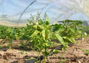 Tunnel de poivrons piments aubergines marjolaines