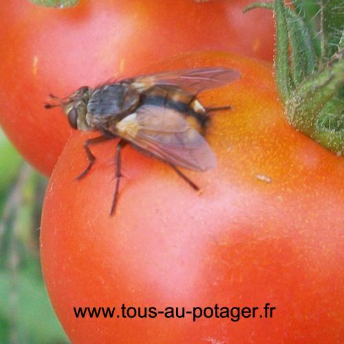La mouche tachinaire parasite les piérides, elle est également appelée la mouche des chenilles