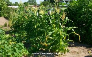 Haricot Maïs Courge en août
