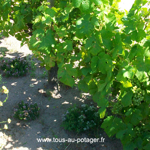 Plants d'origan auprès du pied de vigne - associations de fruitiers et d'aromatiques