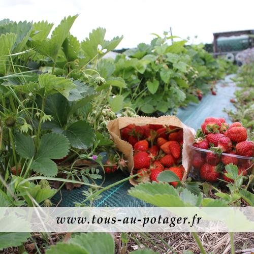 Les travaux en mai sont déjà récompensés par la récolte de fraises