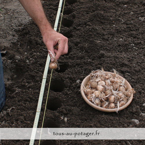 plantation du safran