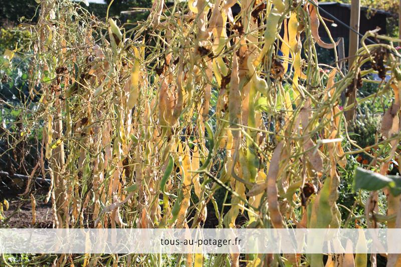 Gousses de haricots à écosser en octobre