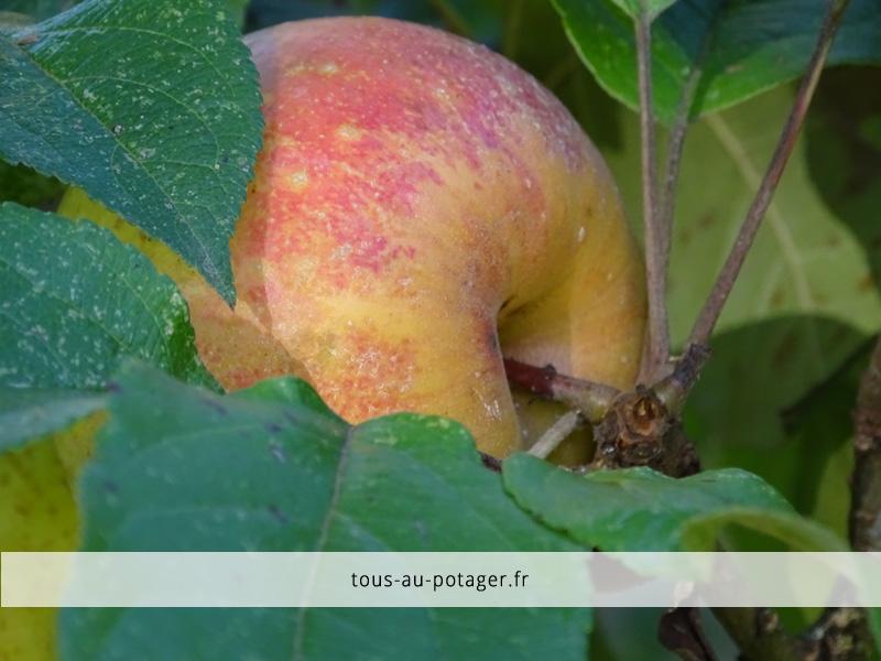 Récolte des pommes en octobre