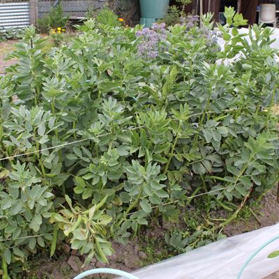 Plants de fèves en mai