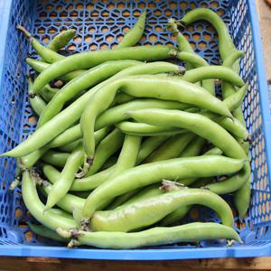 Récolte de fèves fraiches