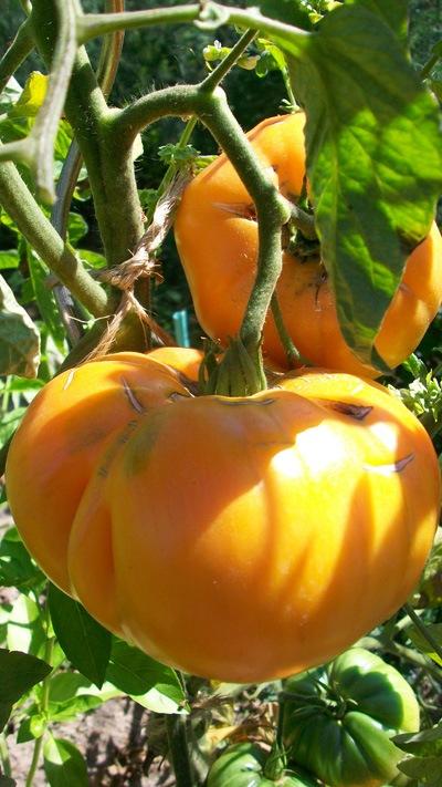 Choisir ses variétés de tomates : Photo de la tomate Summer Cider