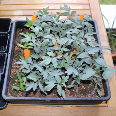 La culture des tomates : 3 semaines après le semis les plants prêts à être repiqués