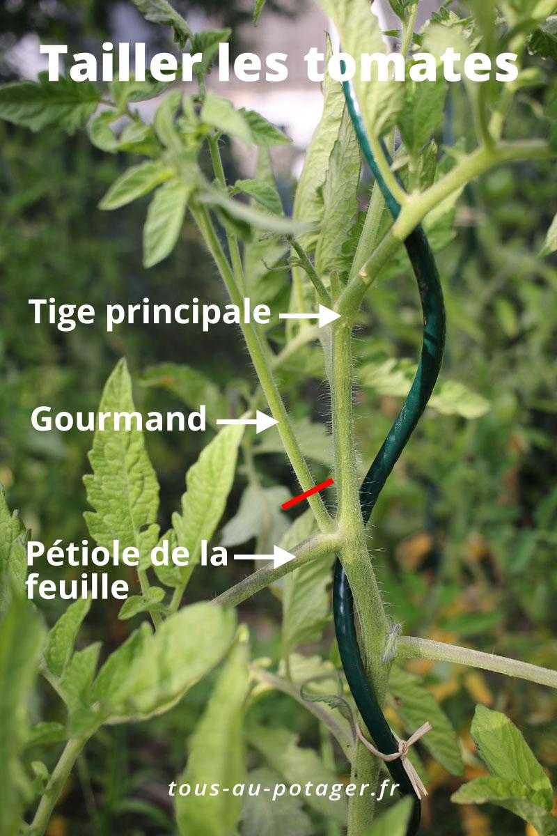 La taille des gourmands de la tomate