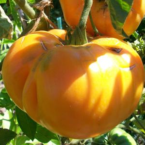 La culture des tomates au potager bio