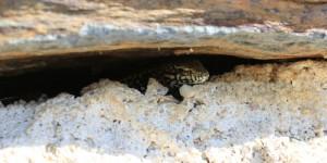 Le lézard est un prédateur des escargots et limaces