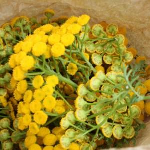 Utilisation de la tanaisie : Cueillette des inflorescences pour les préparations naturelles