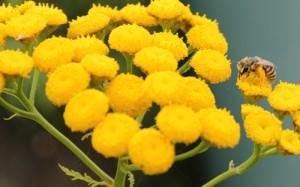 tanaisie-abeille