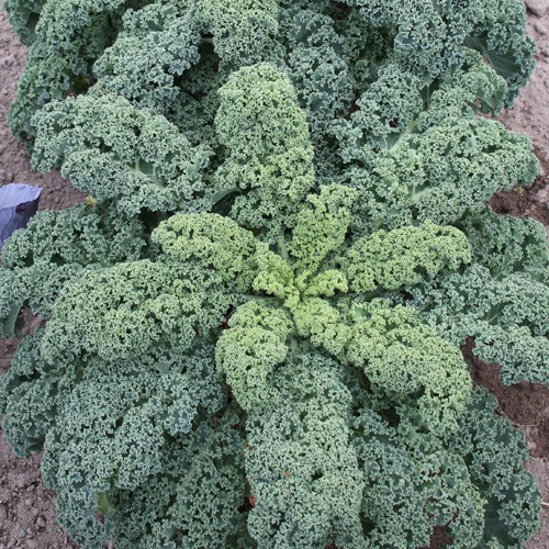 Le chou Kale est un excellent légume feuille d'automne