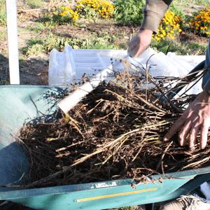 récolter les semences de basilic : battage des hampes