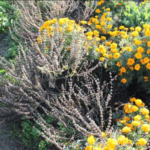 récolter les semences de basilic : récolte des hampes florales