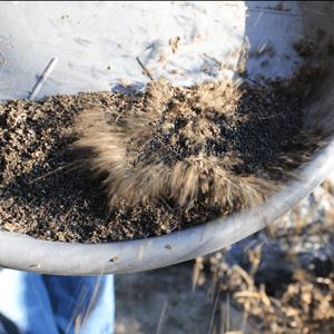 récolter les semences de basilic : souffler sur les débris