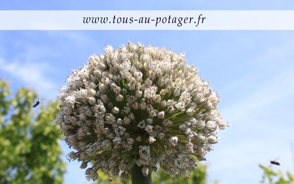 Produire ses graines : L'inflorescence du poireau