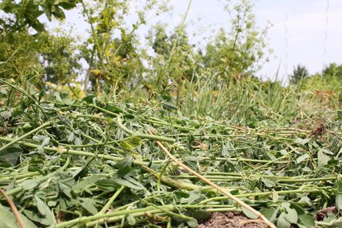 réussir les semis d'été : le paillage protège les semis