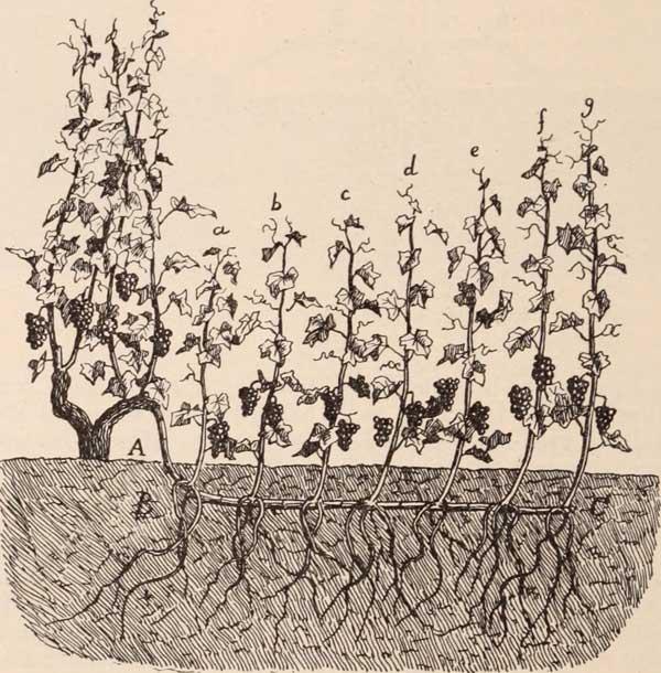 Illustration du marcottage de la vigne
