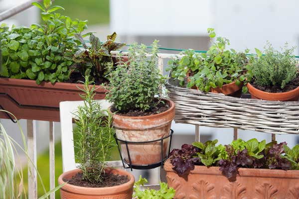 De la diversité de légumes et d'aromatiques sur un potager de balcon