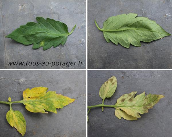 La cladosporiose de la tomate : Photo des feuilles atteintes