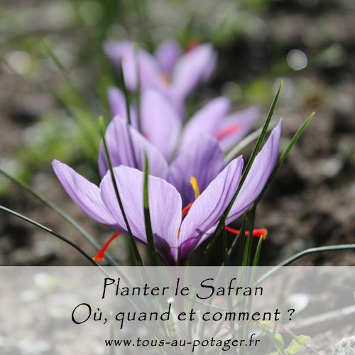Où, quand et comment planter les cormes de safran – Crocus sativus