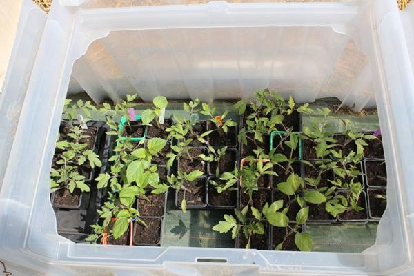 L'acclimatation est nécessaire pour obtenir des plants endurcis